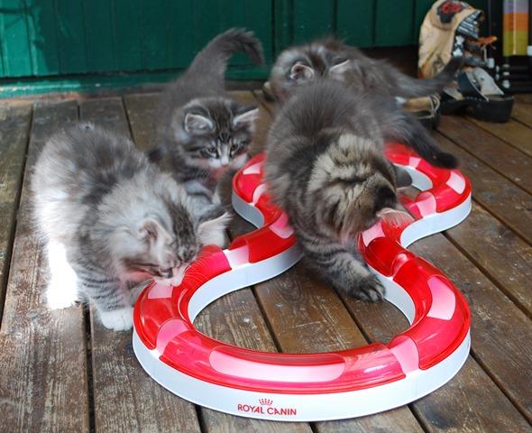 Alla kattungarna leker
