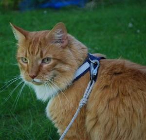 Foppa bor hos oss och han gillar att gå ut med husse i koppel. Hjälper till att fostra kattungar när vi har kull