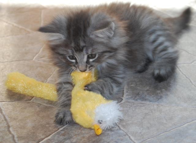 Malva har fångat en gul råtta